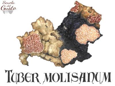 Tuber molisanum
