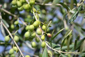 olives-886880